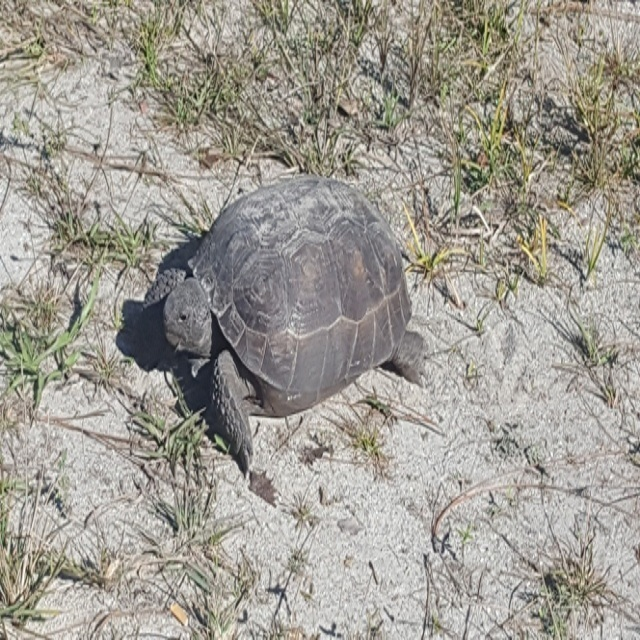 Tortoise Relocation